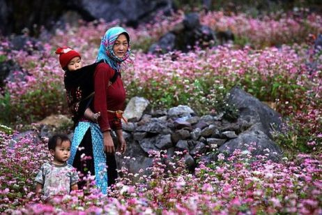 Ha Giang purple buckwheat flower season - The ecstatic innocence